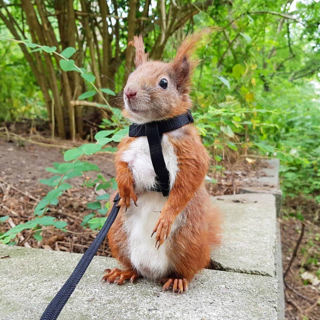 Tintin The Danish Squirrel Instagram S Cutest Celebrity